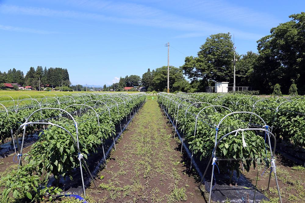 green pepper field 03